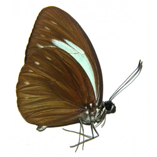 Pareronia jobaea jobaea