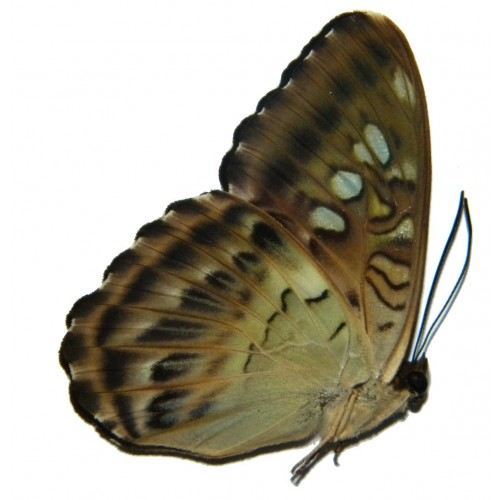 Parthenos tigrina nodrica