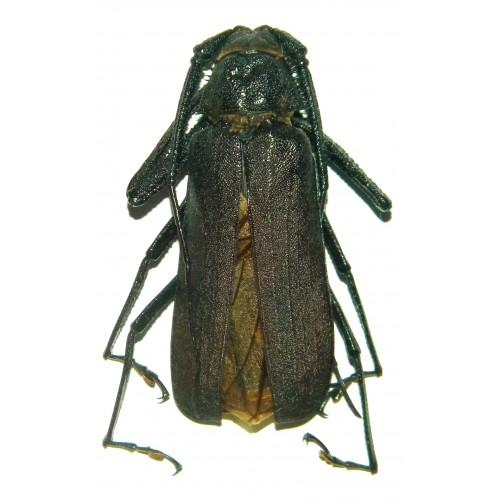 Rugosophysis frater (65-67mm)