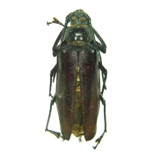 Rugosophysis frater (Wetar)