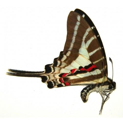 Pathysa aristeus parmatus
