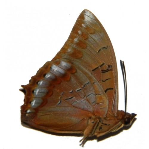 Charaxes latona papuensis