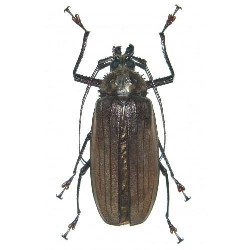 Xixuthrus microcerus lunicollis (female)
