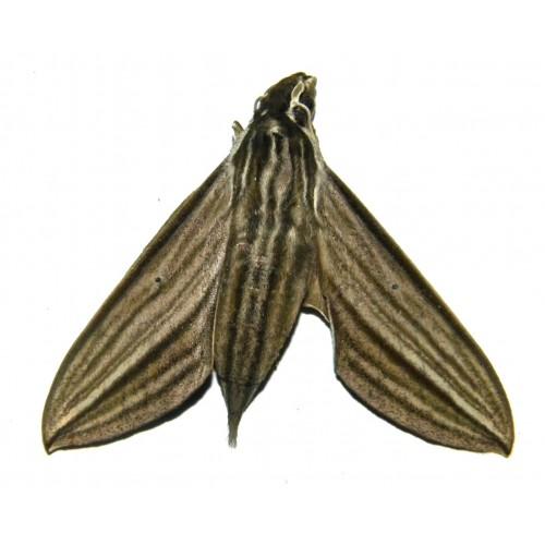 Theretra polistratus