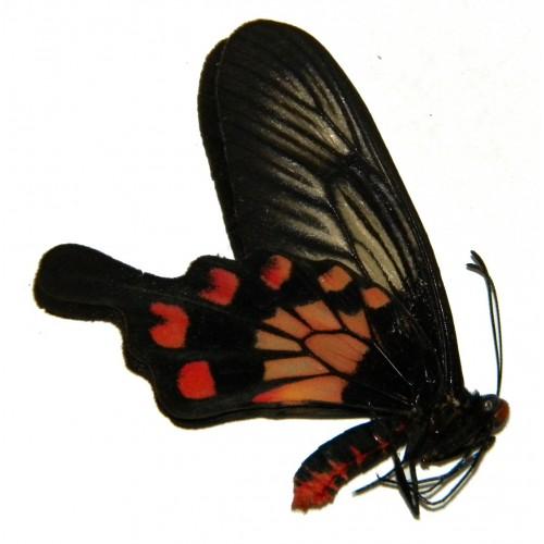 Pachliopta polyphontes bugius ABERRATION