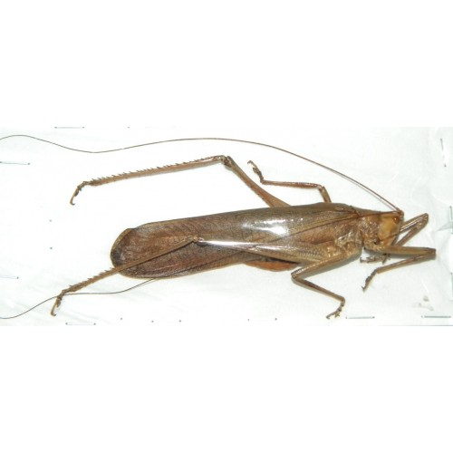 Orthoptera sp.61