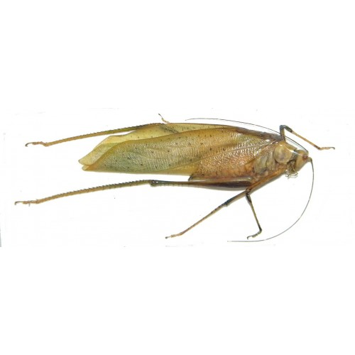 Orthoptera sp.62
