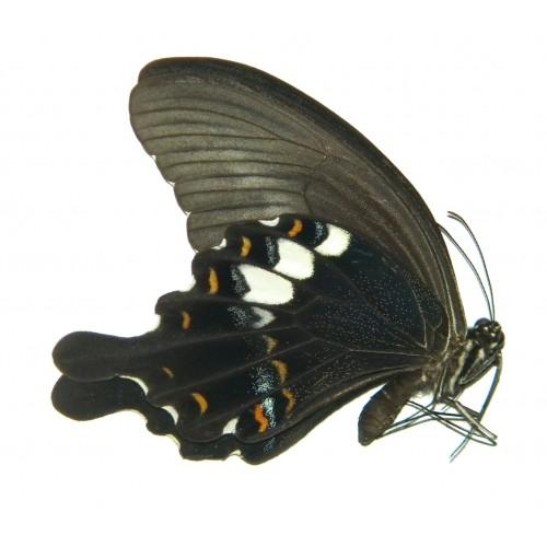 Papilio fuscus pertinax