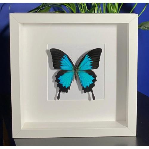 Papilio ulysses ulysses