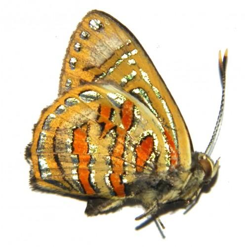 Hypochrysops anacletus anacletus