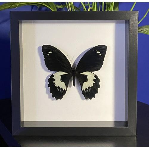 Papilio gambrisius gambrisius