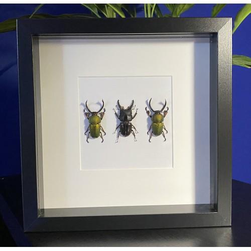 Coleoptera set 01