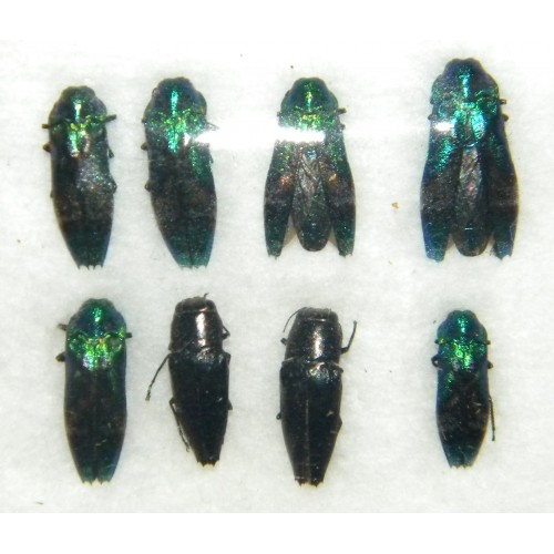 Buprestidae mix 01  Set of 8