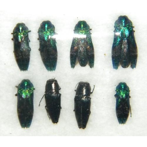 Buprestidae mix01 SET OF 8