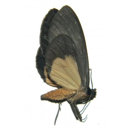 Lobocraspeda latefascia