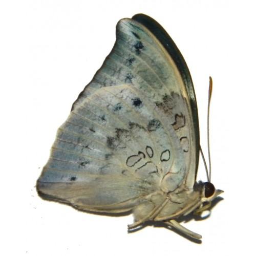 Euthalia anosia balina