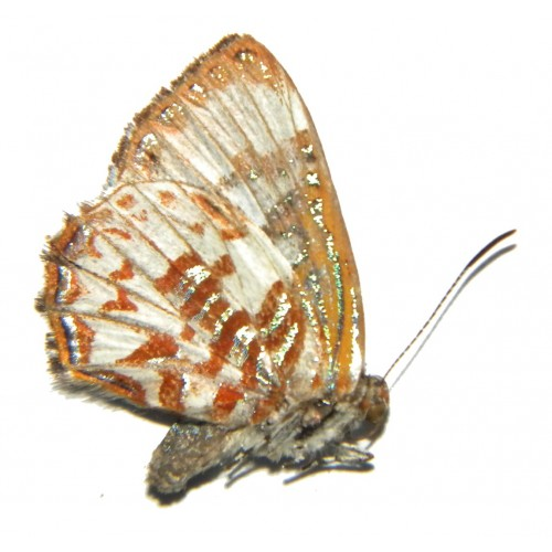 Hypochrysops arronica