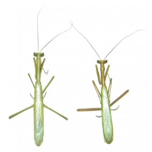 Mantodae sp.39