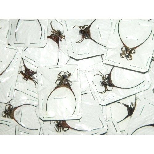 Gasteracantha arcuata Set of 10