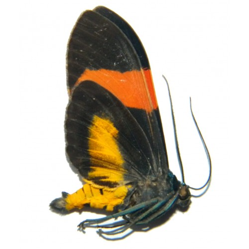 Callhistia brevipennis