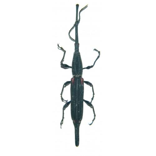 Zetaphloeus pugionatus