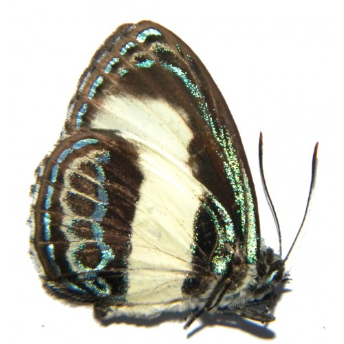 Hypochrysops ribbei