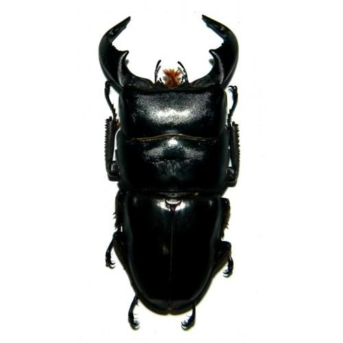 Dorcus bucephalus (80-81mm)