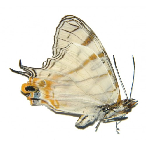 Cyrestis elegans