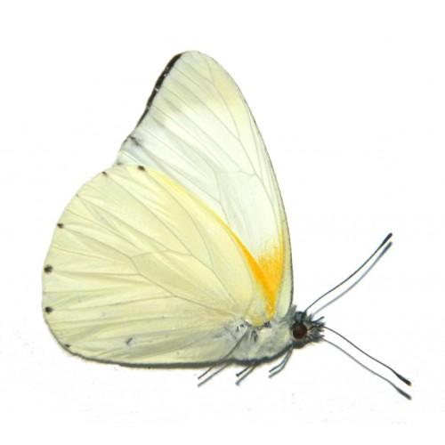 Mylothris sp.01