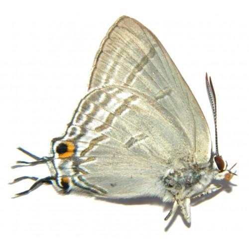 Hypolycaena phorbas
