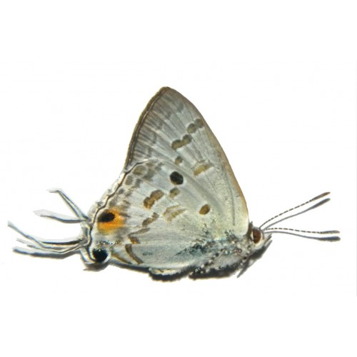 Hypolycaena sipylus sipylus