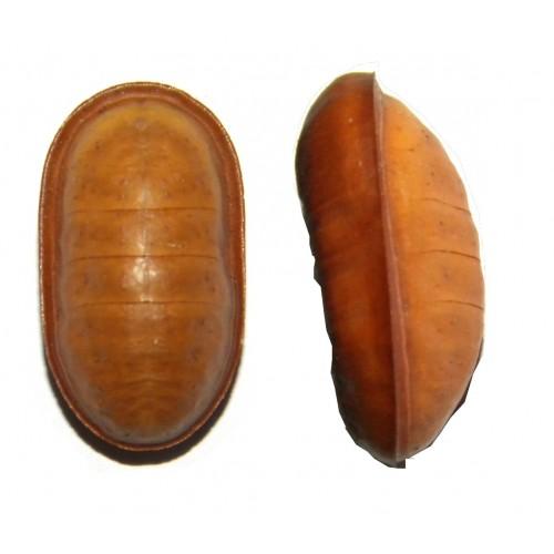 Liphyra brassolis abbreviata DRIED PUPA