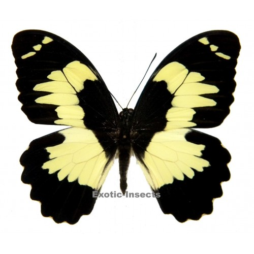 Papilio euchenor naucles