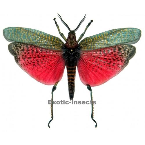 Phymateus saxosus (Closed wings)
