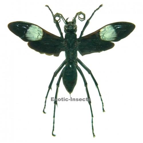 Hemipepsis speculifer diselene (90mm)