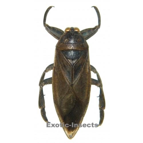 Lethocerus sp.01
