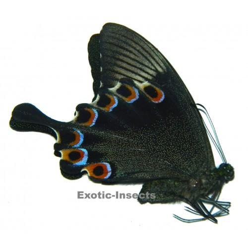 Papilio paris gedeensis