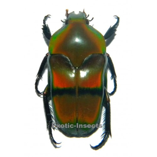 Ischiopsopha bifasciata  Set of 5