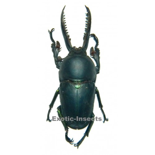 Lamprima adolphinae BLUE  (37mm)