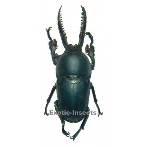 Lamprima adolphinae BLUE  (37mm)
