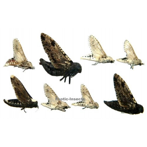 Cossidae mix01 Set of 8