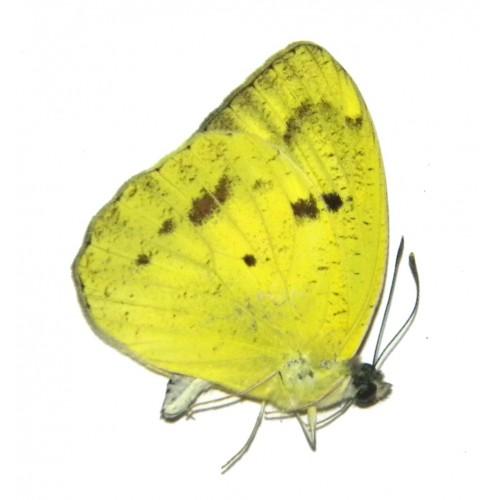Ixias reinwardti baliensis YELLOW