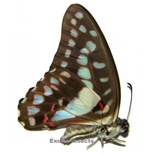 Graphium eurypylus lycaon
