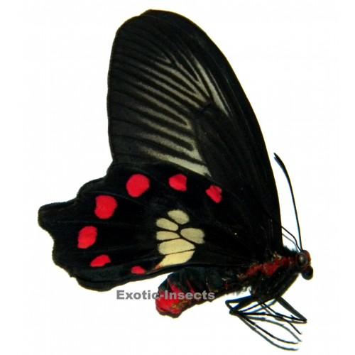 Pachliopta polydorus queenslandicus
