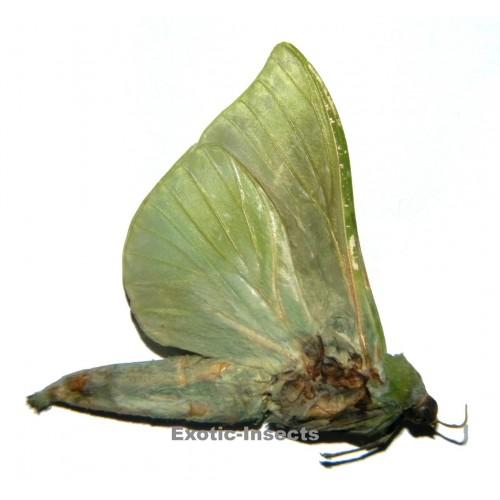 Aenetus virescens LARGE