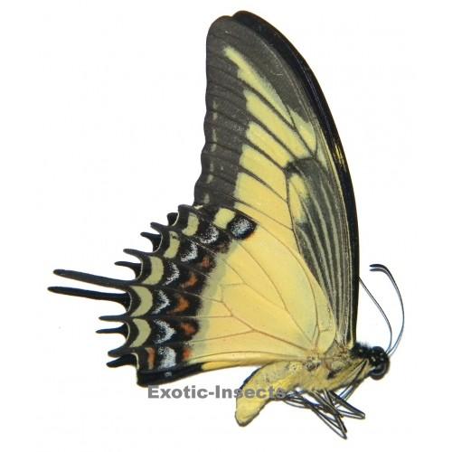 Papilio androgeus androgeus