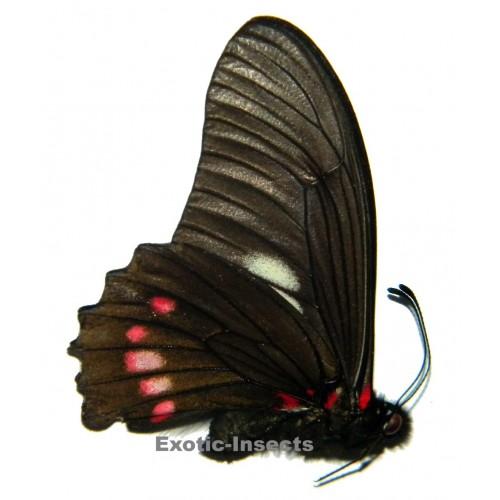 Eurytides harmodius harmodius