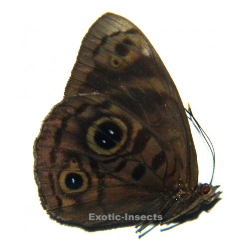 Eunica eurota