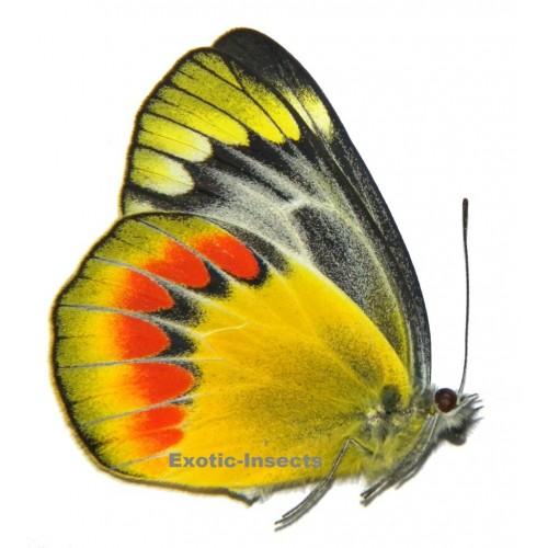 Delias sambawana everetti