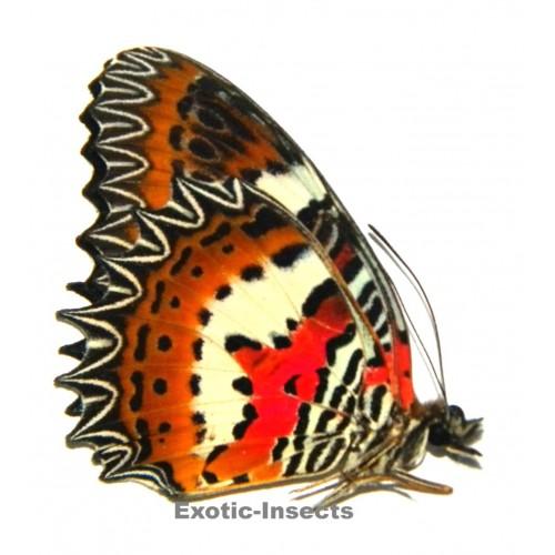 Cethosia hypsea munjava